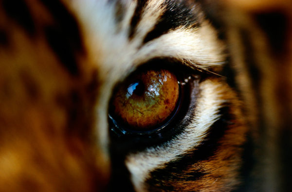 Close-up of the eye of a captive Bengal tiger, (Panthera tigris tigris or Panthera tigris bengalensis), member of an endangered species, Madhav Shivpuri National Park, India.
