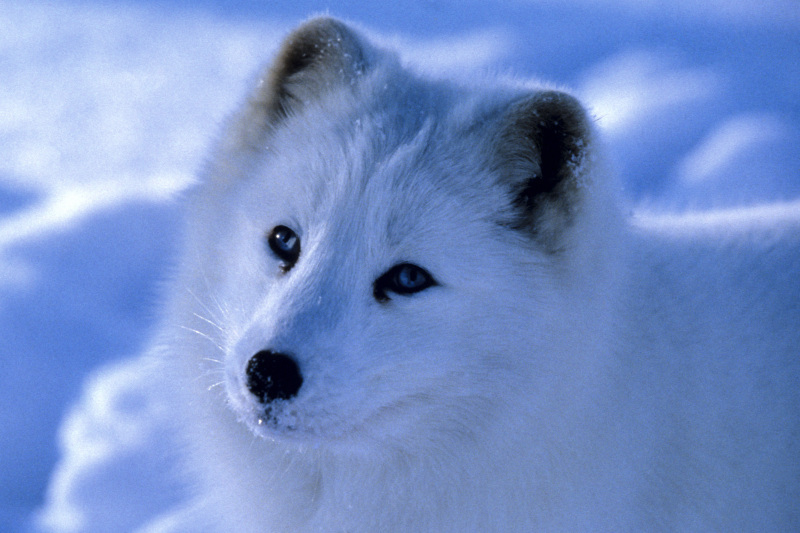 Telus Calendar Wallpaper : Meet our species of the month arctic fox